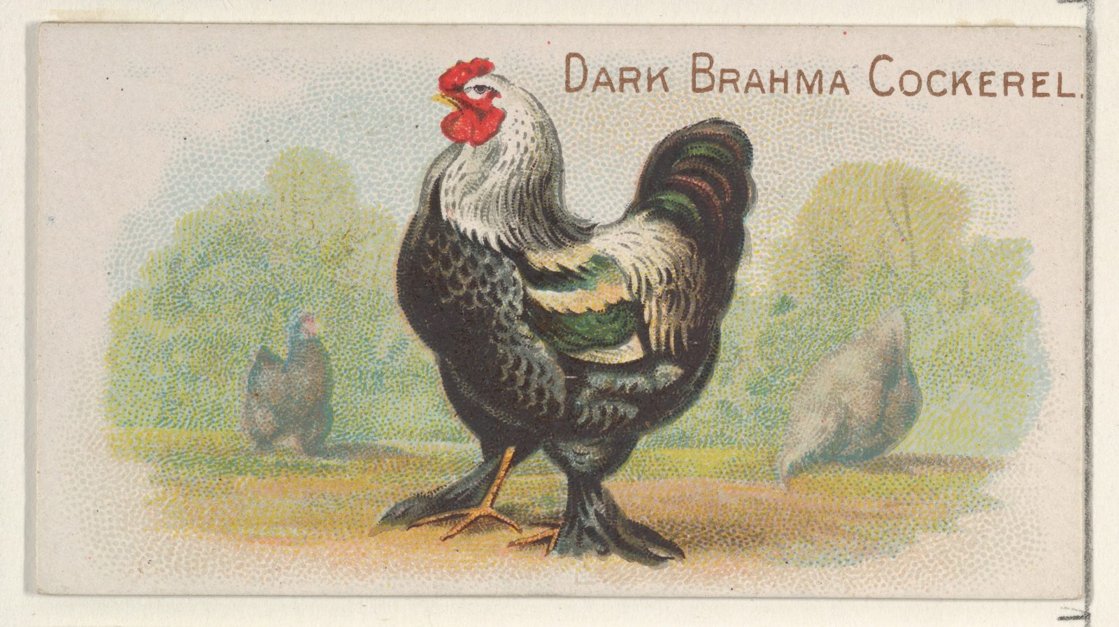 Dark Brahma Cockerel, from the Prize and Game Chickens series (N20) for Allen & Ginter Cigarettes