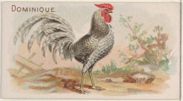 Dominique, from the Prize and Game Chickens series (N20) for Allen & Ginter Cigarettes
