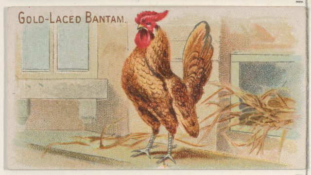 Gold-Laced Bantam, from the Prize and Game Chickens series (N20) for Allen & Ginter Cigarettes