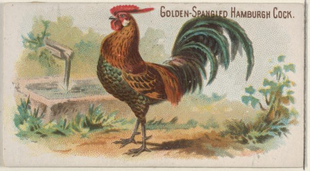 Golden-Spangled Hamburgh Cock, from the Prize and Game Chickens series (N20) for Allen & Ginter Cigarettes