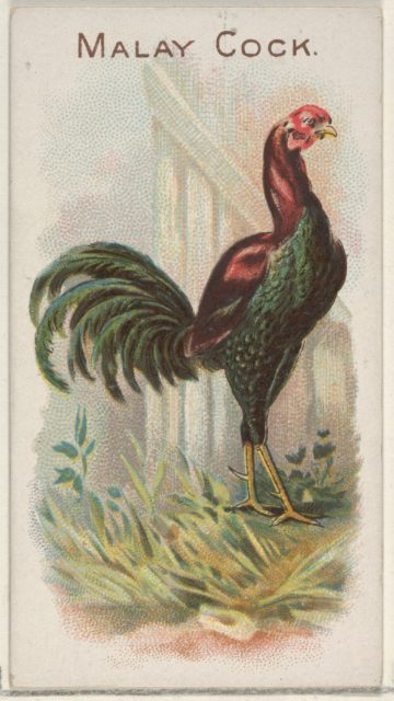 Malay Cock, from the Prize and Game Chickens series (N20) for Allen & Ginter Cigarettes