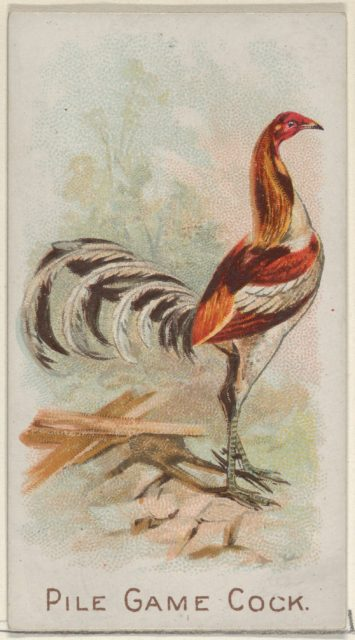 Pile Game Cock, from the Prize and Game Chickens series (N20) for Allen & Ginter Cigarettes