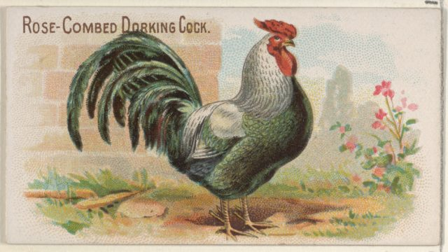 Rose-Combed Dorking Cock, from the Prize and Game Chickens series (N20) for Allen & Ginter Cigarettes
