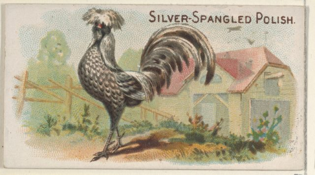 Silver-Spangled Polish, from the Prize and Game Chickens series (N20) for Allen & Ginter Cigarettes