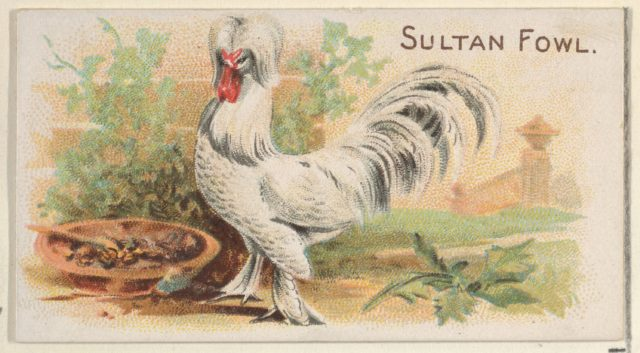 Sultan Fowl, from the Prize and Game Chickens series (N20) for Allen & Ginter Cigarettes