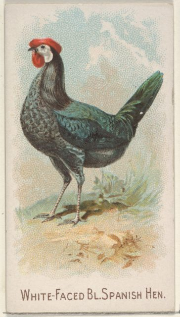 White-Faced Black Spanish Hen, from the Prize and Game Chickens series (N20) for Allen & Ginter Cigarettes