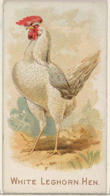 White Leghorn Hen, from the Prize and Game Chickens series (N20) for Allen & Ginter Cigarettes