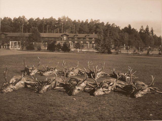Deer killed during the hunt. 1894