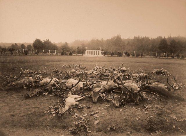 Deer killed during the hunt. 1894.