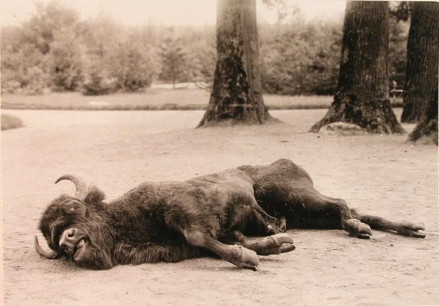 A bison killed during the royal hunting. Belovezh.