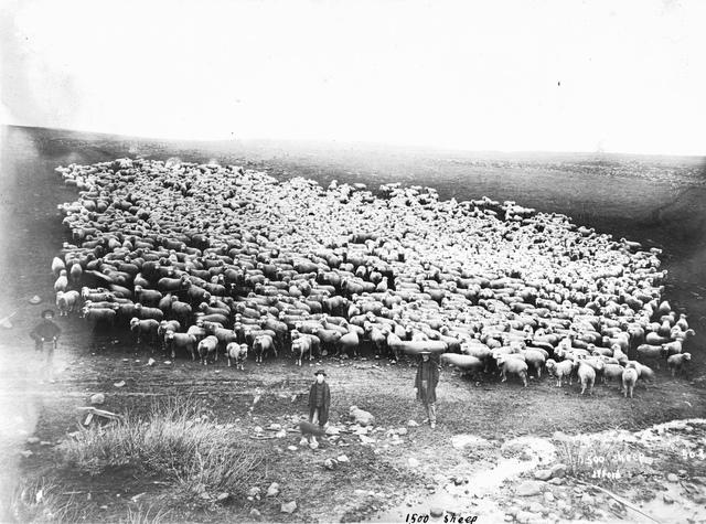 1500 sheep in Sherman County, Oregon