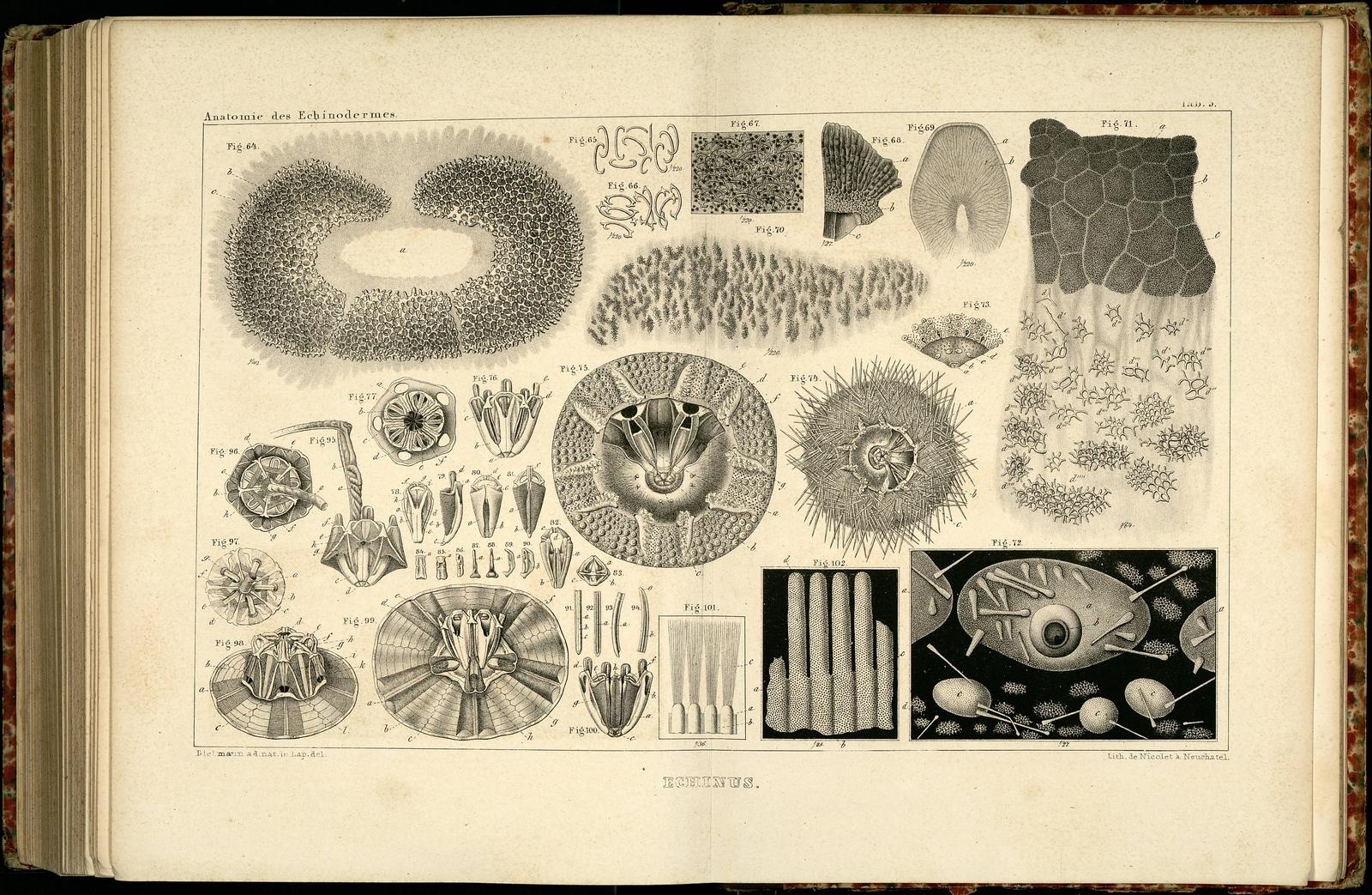 Anatomie des Echinodermes b