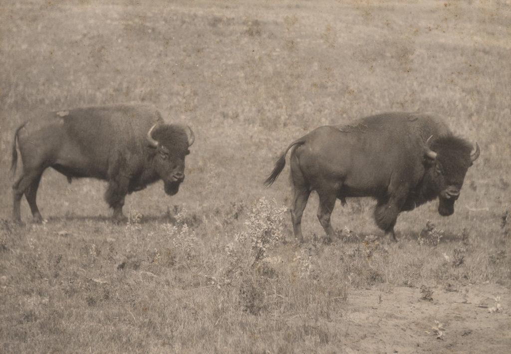 Buffalo at Buffalo Park, Alberta, date unknown