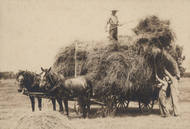 Loading hay, date unknown