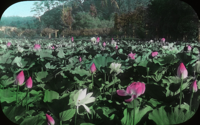 Lotus, Kamakura
