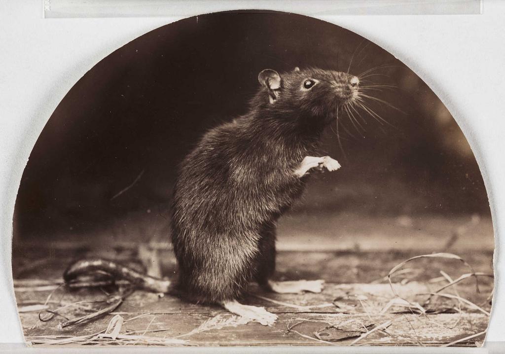 'Mr and Mrs Rattus: Old English Black Rat'