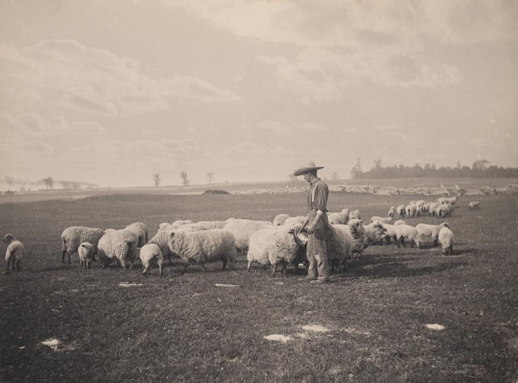 Tending the flock, 1906