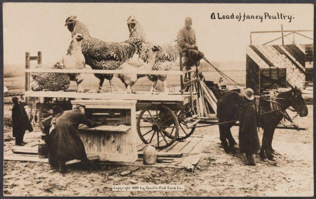 A Load of Fancy Poultry