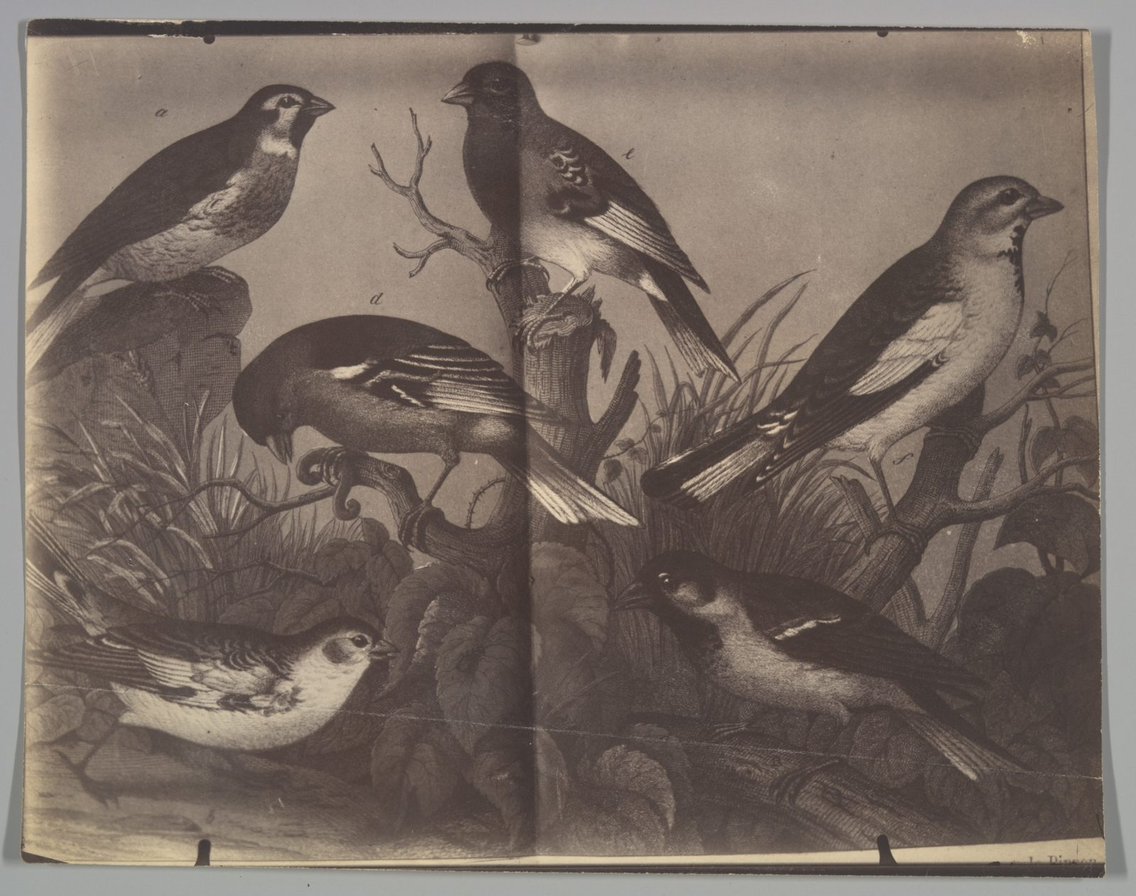 [Spread from an Ornithological Book]