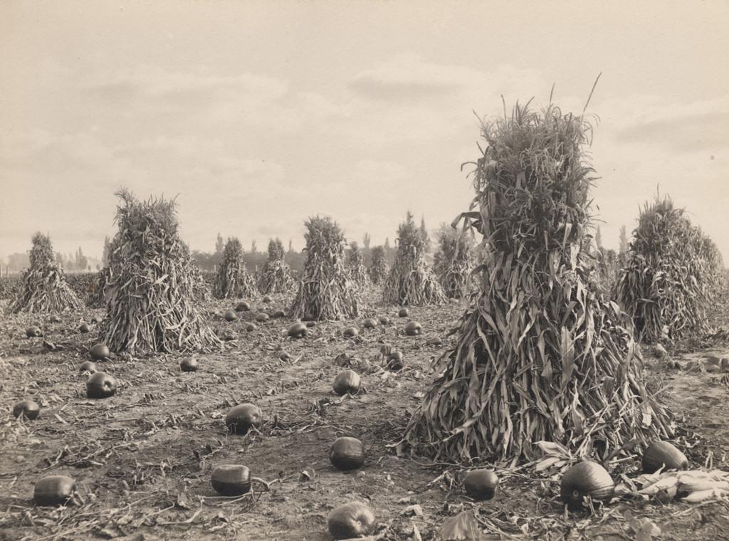 Corn stalks and pumpkins, 1908