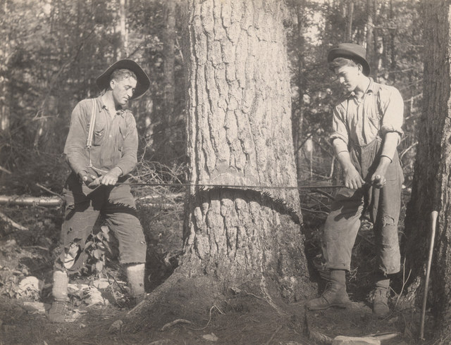 Cutting pine tree, 1917