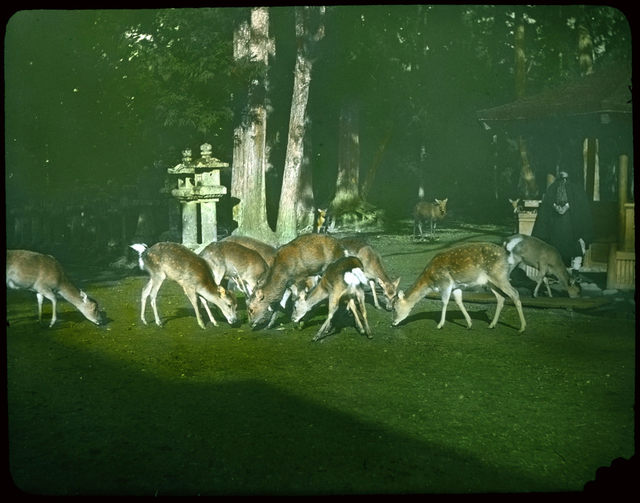 Group of deer feeding on lawn in wooded garden; stone monuments and summer house in mid-ground.