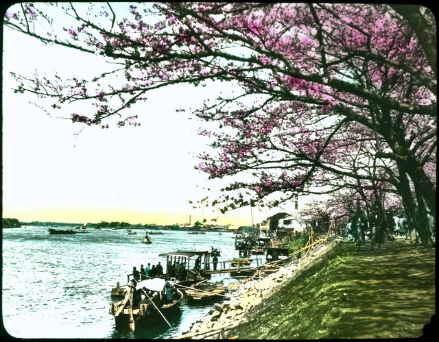 Japanese cherry trees in blossom on grassy bank beside waterways; people strolling under trees; docks and boats with people.