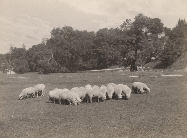 Sheep grazing, 1920