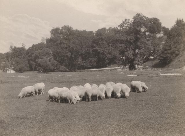 Sheep grazing, 1920