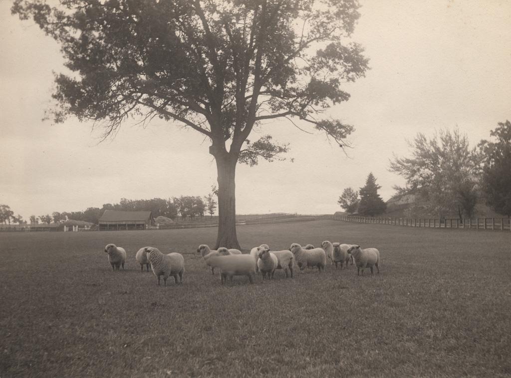 Sheep standing under tree, 1907