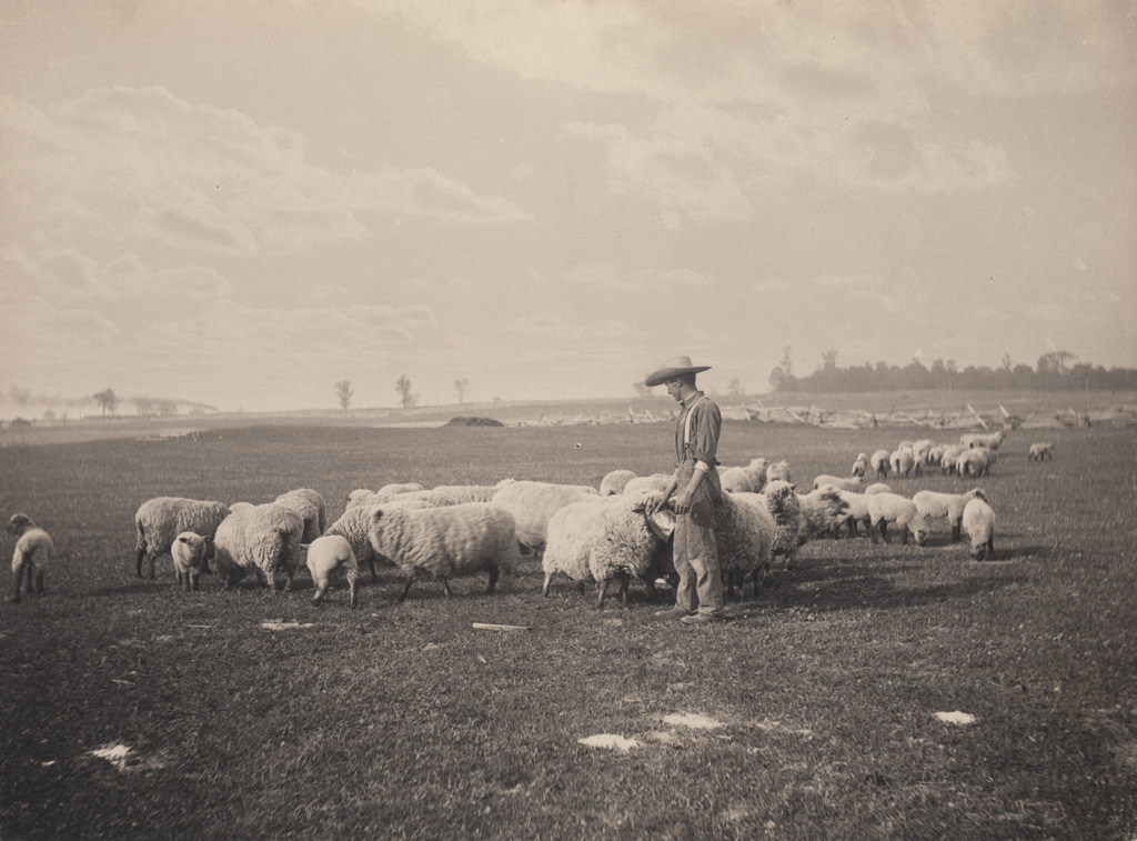 Tending the flock, 1906