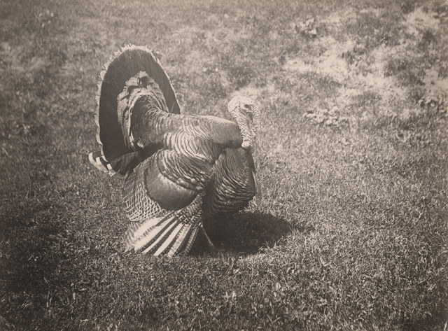 Tom turkey, 1910