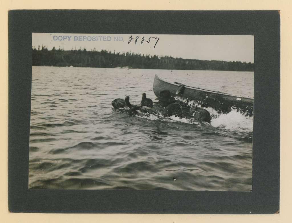 Canoe man dropping onto back of bull moose (HS85-10-28257) original