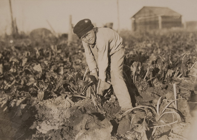Eight year old boy tugging at the beets - October