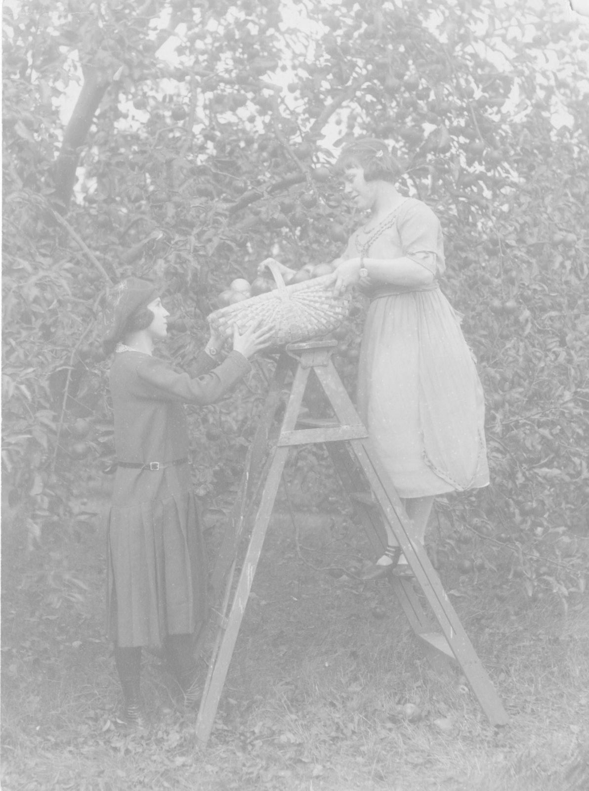 Сбор яблок, c. 1922 г.