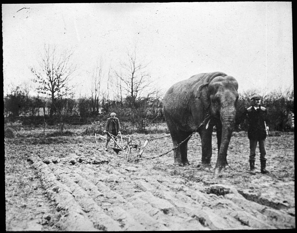 Elephant ploughing a field