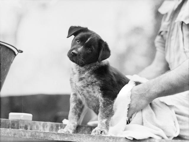 The mascot pup after a bath 1943