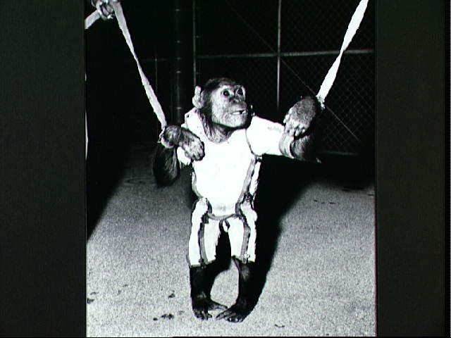 Chimpanzee Enos