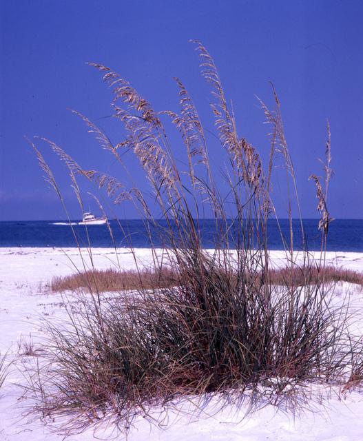 Sea-oats on the beach in Sarasota, Florida