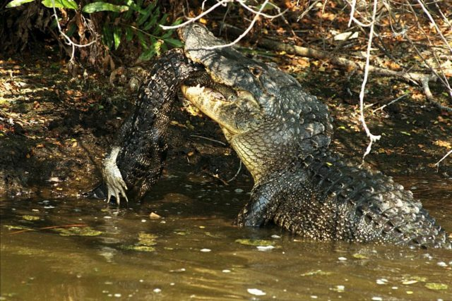 KENNEDY SPACE CENTER, FLA. -- A large alligator attacks and eats a smaller one in a natural display of cannibalism. Although this event has been observed infrequently by Kennedy Space Center's staff photographers, it is common feeding behavior among the wild alligator population on the space center. Alligators are carnivorous and will eat any living thing that crosses their paths and is small enough for them to kill. For this reason, it is dangerous to feed wild alligators, and in Florida, it is also illegal. The Merritt Island National Wildlife Refuge, which is operated by the U.S. Fish and Wildlife Service, is located on Kennedy Space Center property. KSC-98pc769