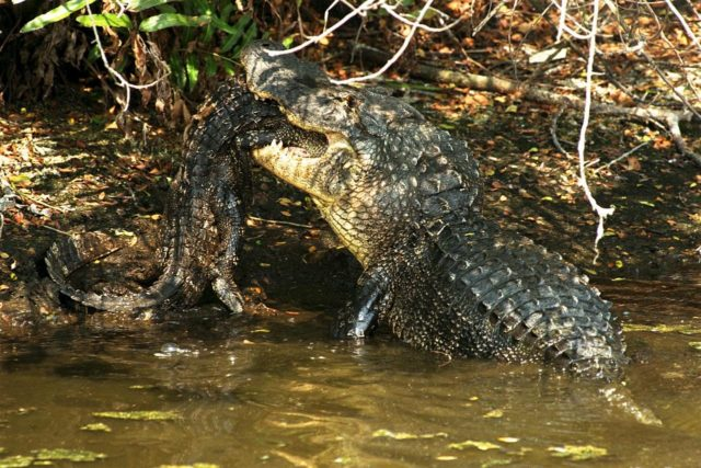 KENNEDY SPACE CENTER, FLA. -- A large alligator attacks and eats a smaller one in a natural display of cannibalism. Although this event has been observed infrequently by Kennedy Space Center's staff photographers, it is common feeding behavior among the wild alligator population on the space center. Alligators are carnivorous and will eat any living thing that crosses their paths and is small enough for them to kill. For this reason, it is dangerous to feed wild alligators, and in Florida, it is also illegal. The Merritt Island National Wildlife Refuge, which is operated by the U.S. Fish and Wildlife Service, is located on Kennedy Space Center property. KSC-98pc772