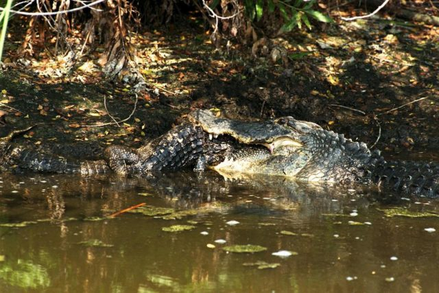 KENNEDY SPACE CENTER, FLA. -- A large alligator attacks and eats a smaller one in a natural display of cannibalism. Although this event has been observed infrequently by Kennedy Space Center's staff photographers, it is common feeding behavior among the wild alligator population on the space center. Alligators are carnivorous and will eat any living thing that crosses their paths and is small enough for them to kill. For this reason, it is dangerous to feed wild alligators, and in Florida, it is also illegal. The Merritt Island National Wildlife Refuge, which is operated by the U.S. Fish and Wildlife Service, is located on Kennedy Space Center property. KSC-98pc773