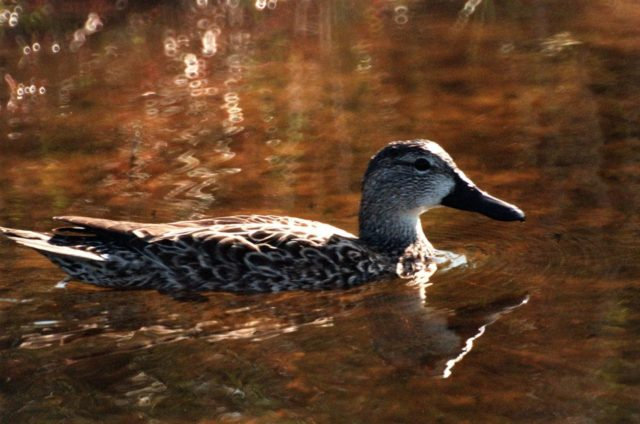 "KENNEDY SPACE CENTER, FLA. -- A pintail duck swims calmly in the waters of the Merritt Island National <a href=""http://www-pao.ksc.nasa.gov/kscpao/captions/subjects/wildlife.htm"">Wildlife </a>Refuge, which shares a boundary with the space center. The pintail can be found in marshes, prairie ponds and tundra, and salt marshes in winter. They range from Alaska and Greenland south to Central America and the West Indies. The open waters of the Wildlife Refuge provide wintering areas for 23 species of migratory waterfowl as well as a year-round home for great blue herons, great egrets, wood storks, cormorants, brown pelicans and other species of marsh and shore birds. The refuge comprises 92,000 acres, ranging from fresh-water impoundments, salt-water estuaries and brackish marshes to hardwood hammocks and pine flatwoods. The diverse landscape provides habitat for more than 310 species of birds, 25 mammals, 117 fishes, and 65 amphibians and reptiles, including such endangered species as Southern bald eagles, wood storks, Florida scrub jays, Atlantic loggerhead and leatherback turtles, osprey, and nearly 5,000 alligators KSC-99pc65"