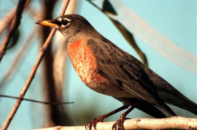 "KENNEDY SPACE CENTER, FLA. -- A robin perches on a branch in the Merritt Island National <a href=""http://www-pao.ksc.nasa.gov/kscpao/captions/subjects/wildlife.htm"">Wildlife </a>Refuge, which shares a boundary with the space center. Robins range throughout North America, from Alaska to Florida. Although considered a harbinger of spring, they do winter in northern states, frequenting cedar bogs and swamps. They also winter in Florida, where they often can be seen in flocks of hundreds near KSC and the wildlife refuge, which comprises 92,000 acres, ranging from hardwood hammocks and pine flatwoods to fresh-water impoundments, salt-water estuaries and brackish marshes. The diverse landscape provides habitat for more than 310 species of birds, 25 mammals, 117 fishes, and 65 amphibians and reptiles, including such endangered species as Southern bald eagles, wood storks, Florida scrub jays, Atlantic loggerhead and leatherback turtles, osprey, and nearly 5,000 alligators KSC-99pc66"