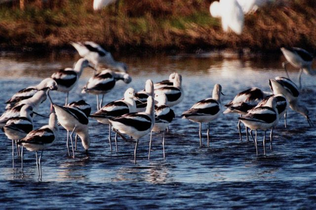 KENNEDY SPACE CENTER, FLA. -- A flock of American avocets take time to feed in the waters of the Merritt Island National Wildlife Refuge, which shares a boundary with Kennedy Space Center. Avocets are not commonly seen in the East, but range from Washington and Manitoba south to Texas and California. However, avocets may stray eastward to the Atlantic coast during their southward migration in the fall. Their common habitat is freshwater marshes and shallow marshy lakes. Much like spoonbills, they sweep their bills from side to side along the surface of the water to pick up crustaceans, aquatic insects and floating seeds. The Refuge encompasses 92,000 acres that are a habitat for more than 331 species of birds, 31 mammals, 117 fishes, and 65 amphibians and reptiles. The marshes and open water of the refuge provide wintering areas for 23 species of migratory waterfowl, as well as a year-round home for great blue herons, great egrets, wood storks, cormorants, brown pelicans and other species of marsh and shore birds, as well as a variety of insects KSC-99pp1522