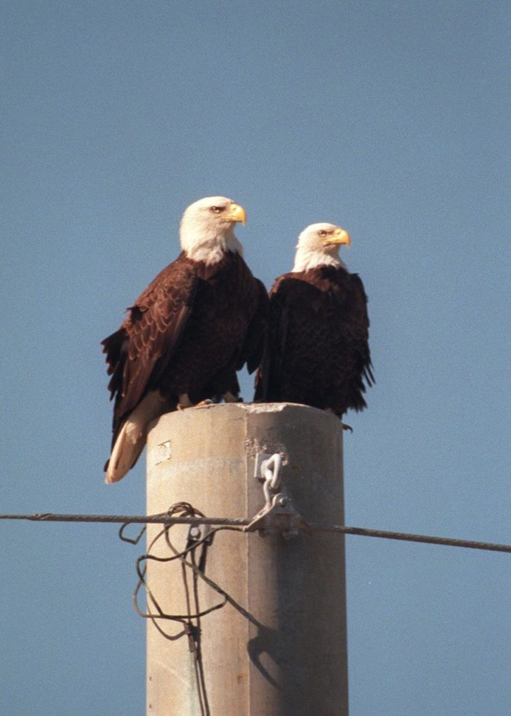 KENNEDY SPACE CENTER, FLA. -- A pair of nesting bald eagles share a utility pole on Kennedy Parkway North. Nearby is their 11-foot-deep nest, in a pine tree, which has been home to one or more pairs of eagles for two dozen years. It is one of a dozen eagle nests in the Merritt Island National Wildlife Refuge, which shares a boundary with Kennedy Space Center. The Southern Bald Eagle ranges throughout Florida and along the coasts of California, Texas, Louisiana, and the south Atlantic states. Bald Eagles are listed as endangered in the U.S., except in five states where they are listed as threatened. The number of nesting pairs of the southern race once numbered several thousand; recent estimates are only 350-375. Most of the southern race nests in Florida Eagles arrive at KSC during late summer and leave for the north in late spring. They move to nest sites in October and November and lay one to three eggs. The young fledge from February to April. The Refuge encompasses 92,000 acres that are a habitat for more than 331 species of birds, 31 mammals, 117 fishes, and 65 amphibians and reptiles. The marshes and open water of the refuge provide wintering areas for 23 species of migratory waterfowl, as well as a year-round home for great blue herons, great egrets, wood storks, cormorants, brown pelicans and other species of marsh and shore birds, as well as a variety of insects KSC00pp0041