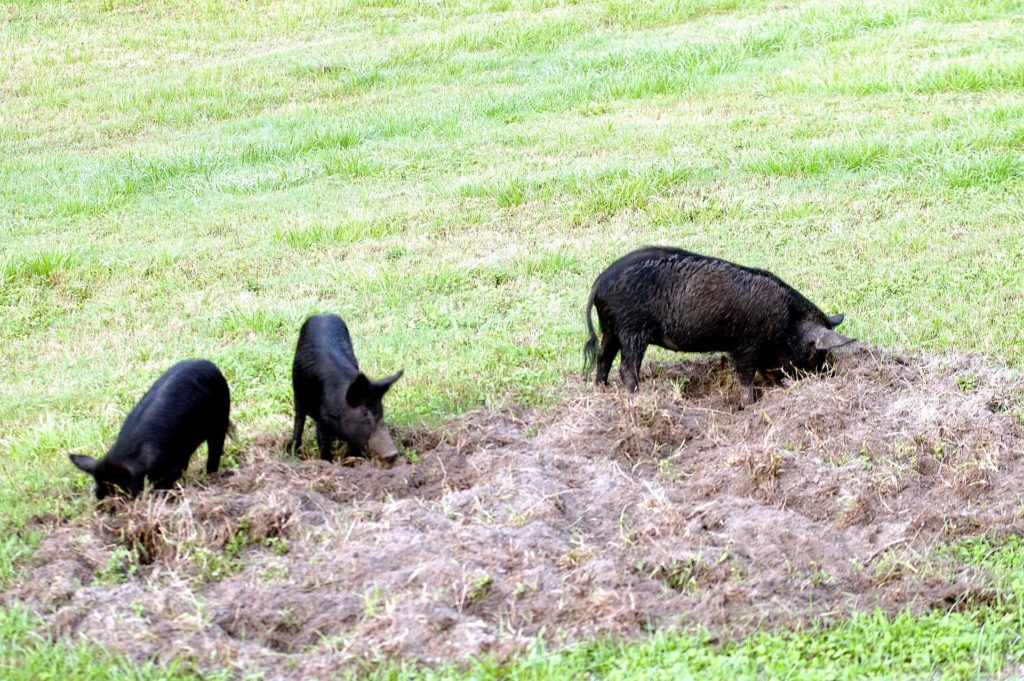 KENNEDY SPACE CENTER, FLA.  -  Three  wild pigs - a mother and her two offspring - root for food in the grass near the NASA News Center at KSC.  Feral pigs were introduced to Florida in the 1500s and are now found statewide in wooded areas close to water. The pigs have flourished in the environs around KSC, which shares a border with the Merritt Island National Wildlife Refuge, without many predators other than panthers and humans.  Pigs are omnivores, foraging on the ground and rooting just beneath the surface, which damages the groundcover. Wild pigs eat almost anything that has nutritional value, including tubers, roots, shoots, acorns, fruits, berries, earthworms, amphibians, reptiles and rodents. Appearance is similar to domestic hogs, but leaner, with a longer, narrower head and a coarser, denser coat.  Females may have two litters per year.  The piglets are weaned in a few weeks but remain with the mother for several months. KSC-04pd1285