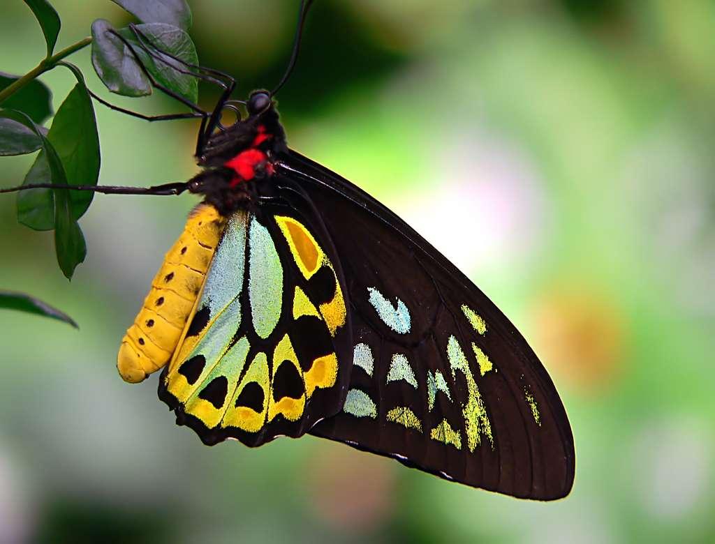 Cairns Birdwing.