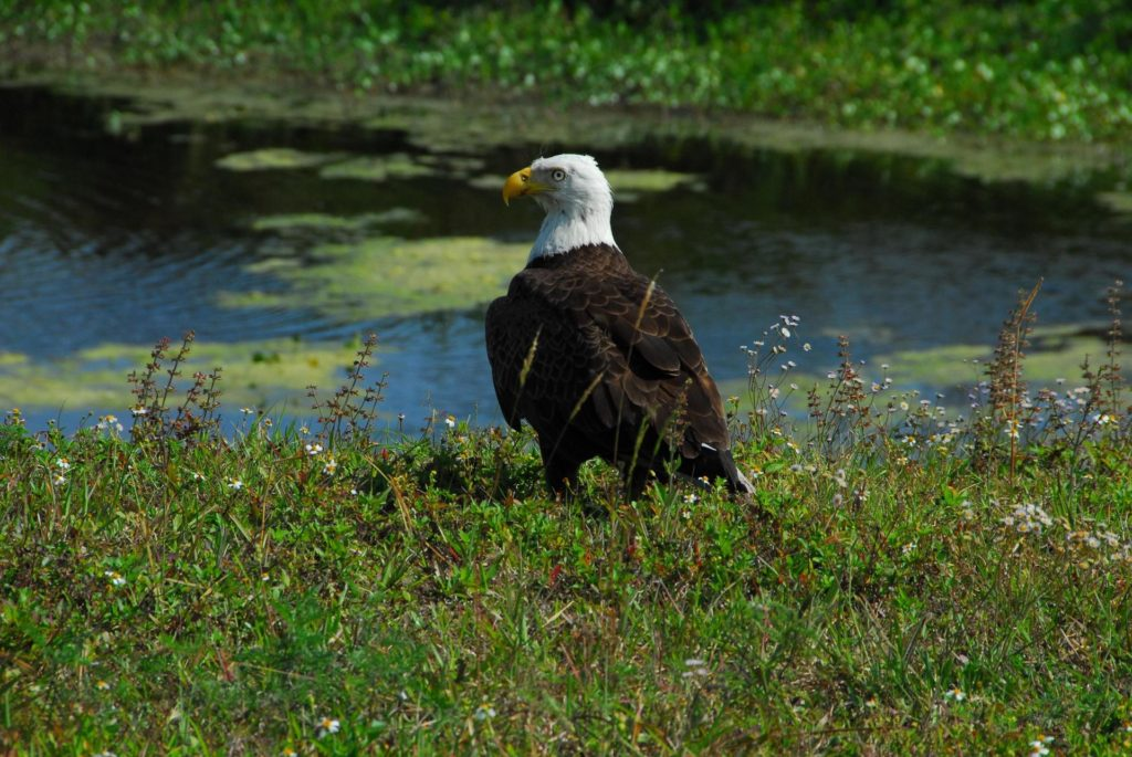 KENNEDY SPACE CENTER, FLA.  --  This adult bald eagle rests on the ground near a pond close to S.R. 3 in NASA's Kennedy Space Center. Bald eagles live near large bodies of open water such as lakes, marshes, seacoasts and rivers, where there are plenty of fish to eat and tall trees for nesting and roosting. Bald eagles feed primarily on fish, but also eat small animals (ducks, coots, muskrats, turtles, rabbits, snakes, etc.) and occasional carrion (dead animals). They are sometimes seen among a gathering of vultures at the site of a fresh meal.  Bald eagles have a presence in every U. S. state except Hawaii. Bald eagles use a specific territory for nesting (they mate for life), winter feeding or a year-round residence. Its natural domain is from Alaska to Baja, California, and from Maine to Florida. There are a dozen eagle nests both in KSC and in the Merritt Island National Wildlife Refuge, which surrounds KSC. The refuge includes several wading bird rookeries, many osprey nests, up to 400 manatees during the spring, and approximately 2,500 Florida scrub jays.  It also is a major wintering area for migratory birds. More than 500 species of wildlife inhabit the refuge, with 15 considered federally threatened or endangered.  Photo credit: NASA/George Shelton KSC-07pd0925