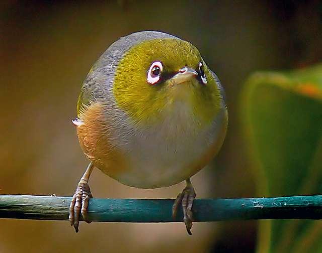 Silvereye.(Zosterops lateralis)